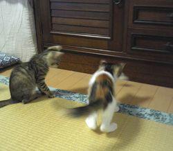 きじ三毛2ヶ月姉妹で遊ぶ.jpg